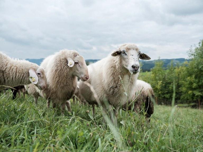 Schafe am Loidholdhof