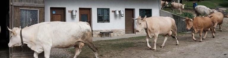 Kühe kommen von der Weide